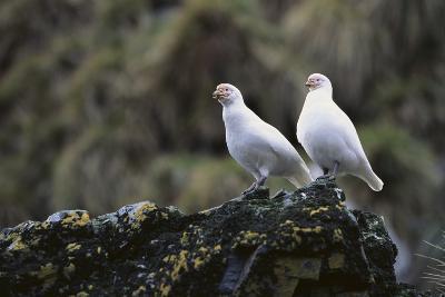 Two Sheathbill on a Rock-DLILLC-Photographic Print