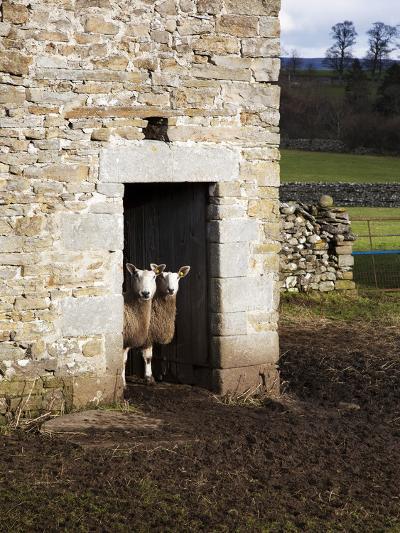 Two Sheep in a Field Barn Near Aysgarth, Yorkshire Dales, England, United Kingdom, Europe-Mark Sunderland-Photographic Print