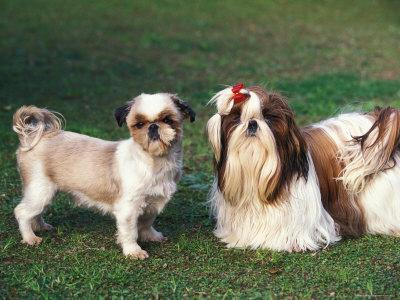 Two Shih Tzus One Has Been Clipped And The Other With Groomed Long