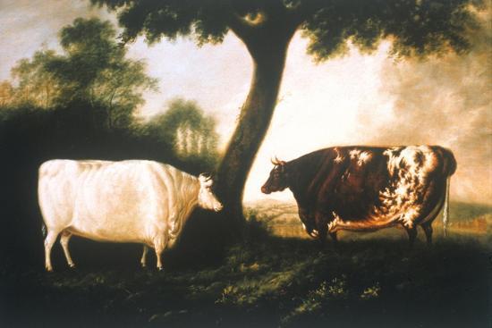 Two Shorthorn Cattle, 1806-Thomas Harrington Wilson-Giclee Print
