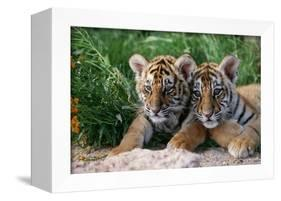 Two Siberian Tiger Cubs-W^ Perry Conway-Framed Premier Image Canvas