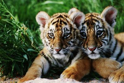 https://imgc.artprintimages.com/img/print/two-siberian-tiger-cubs_u-l-pzqaky0.jpg?p=0