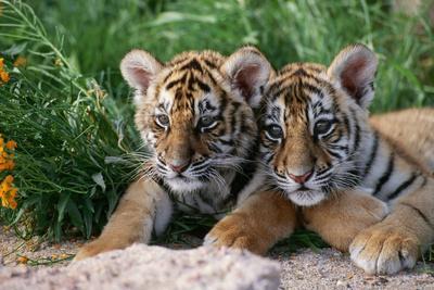 https://imgc.artprintimages.com/img/print/two-siberian-tiger-cubs_u-l-pzqb2n0.jpg?p=0