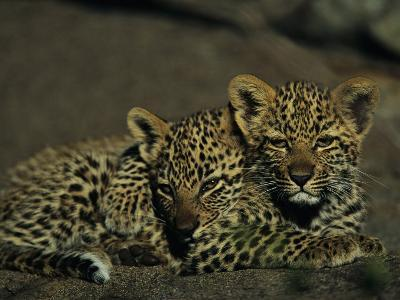 Two Sleepy Four-Month-Old Leopard Cubs Huddled Together-Kim Wolhuter-Photographic Print