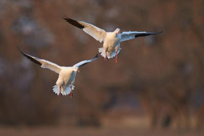 Two Snow Goose (Chen Caerulescens) Landing-James Hager-Photographic Print