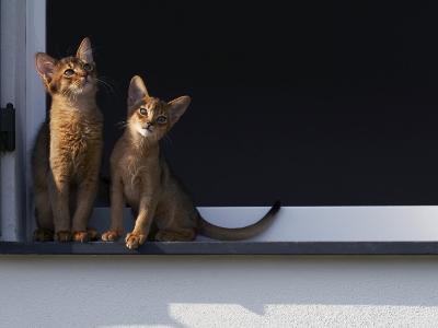 Two Somali Cats Sitting on Window Ledge, Italy-Adriano Bacchella-Photographic Print