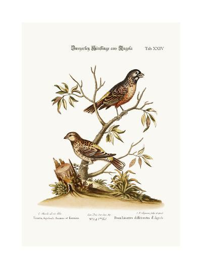 Two Sorts of Linnets from Angola, 1749-73-George Edwards-Giclee Print
