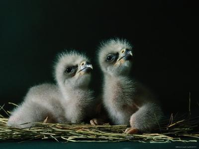 Two Southern American Bald Eaglets Awaiting Food-Joel Sartore-Photographic Print