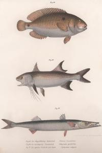 Two-Spot Bimaculus, African Redfin, Common Barracuda, C.1850S