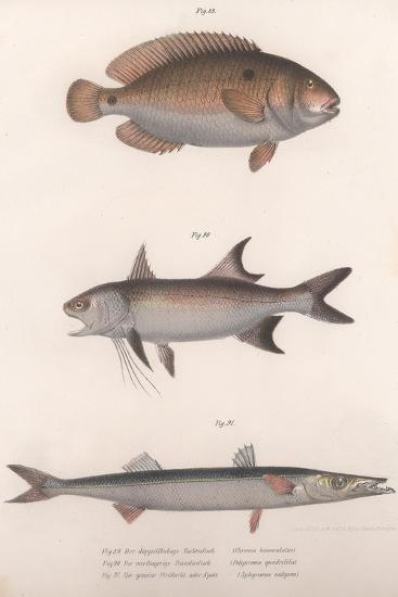 Two-Spot Bimaculus, African Redfin, Common Barracuda, C.1850S--Giclee Print