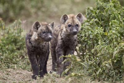 Two Spotted Hyena (Spotted Hyaena) (Crocuta Crocuta) Pups-James Hager-Photographic Print