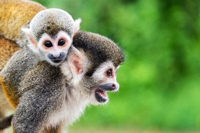 Two Squirrel Monkeys, a Mother and Her Child in the Amazon Rainforest near Leticia, Colombia-Jess Kraft-Photographic Print