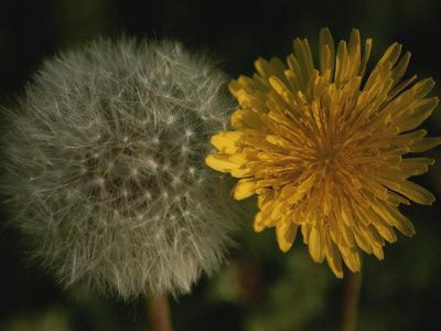 https://imgc.artprintimages.com/img/print/two-stages-of-dandelion-side-by-side-yellow-petals-and-seed-head_u-l-p4v1d00.jpg?p=0