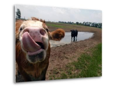 Two Steers Try to Keep Cool in a Small Area of Water on a Family Farm