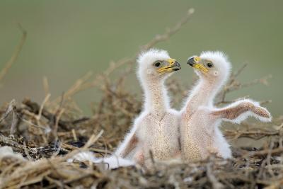 Two Steppe Eagle (Aquila Nipalensis) Chicks in their Nest. Cherniye Zemli Nr, Kalmykia, Russia- Shpilenok-Photographic Print