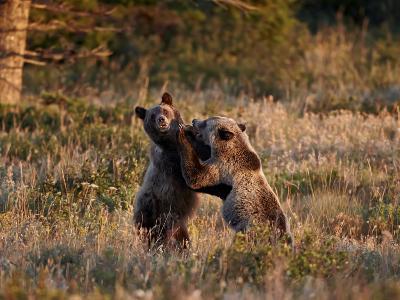 Two Sub-Adult Grizzly Bears (Ursus Arctos Horribilis), Glacier National Park, Montana, USA-James Hager-Photographic Print