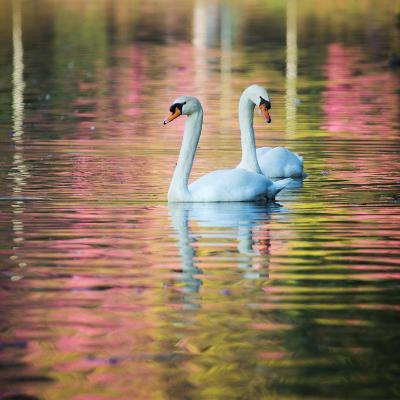 Two Swans Float on a Colorful Reflective Lake-Alex Saberi-Photographic Print