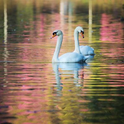 https://imgc.artprintimages.com/img/print/two-swans-float-on-a-colorful-reflective-lake_u-l-pu78jw0.jpg?p=0