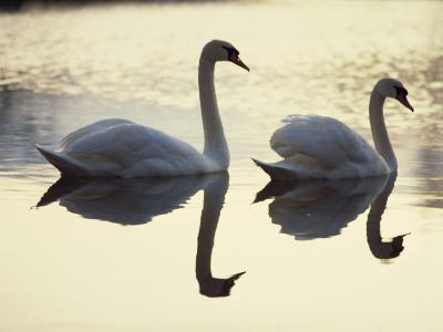 Two Swans on Water at Dusk, Dorset, England, United Kingdom, Europe-Dominic Harcourt-webster-Photographic Print