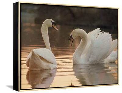 Two Swans on Water-Robert Harding-Framed Canvas Print