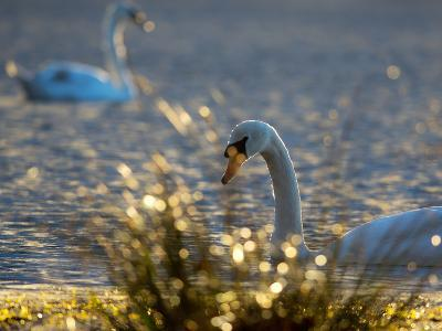Two Swans Swim on a Pond in Richmond Park on a Sunny Morning-Alex Saberi-Photographic Print