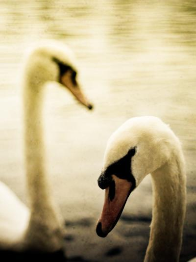 Two Swans Swimming on Lake-Clive Nolan-Photographic Print