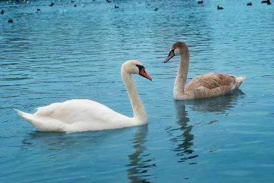 Two Swans-Vakhrushev Pavel-Photographic Print