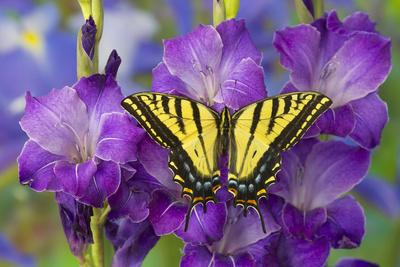 https://imgc.artprintimages.com/img/print/two-tailed-swallowtail-butterfly_u-l-q12t7al0.jpg?p=0