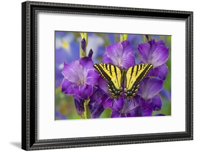 Two-Tailed Swallowtail Butterfly-Darrell Gulin-Framed Photographic Print