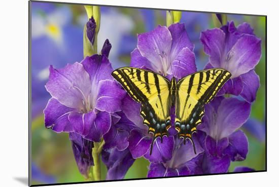 Two-Tailed Swallowtail Butterfly-Darrell Gulin-Mounted Photographic Print
