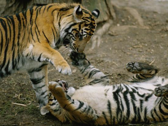 Two Tigers Play Together at the National Zoo-Vlad Kharitonov-Photographic Print