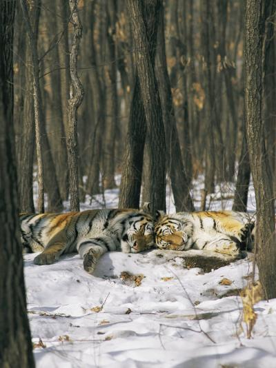 Two Tigers Take a Nap Together-Marc Moritsch-Photographic Print
