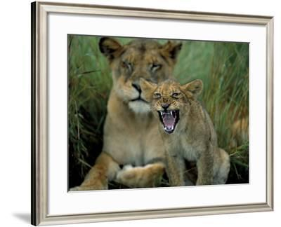 Two to Three Month Old Lion Cub with Lioness (Panthera Leo), Kruger National Park, South Africa-Steve & Ann Toon-Framed Photographic Print