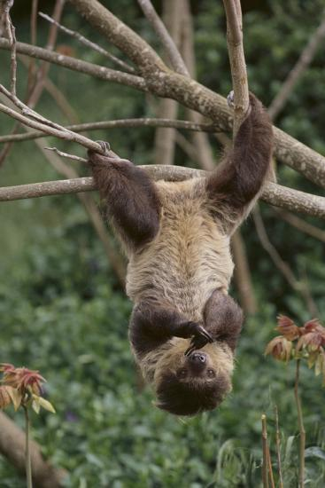 Two-Toed Tree Sloth Hanging from Tree-DLILLC-Photographic Print
