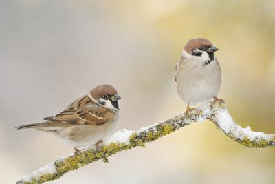 https://imgc.artprintimages.com/img/print/two-tree-sparrows-passer-montanus-perched-on-a-snow-covered-branch-perthshire-scotland-uk_u-l-q10o6260.jpg?p=0