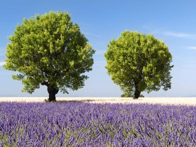 Two Trees in a Lavender Field, Provence, France-Nadia Isakova-Photographic Print