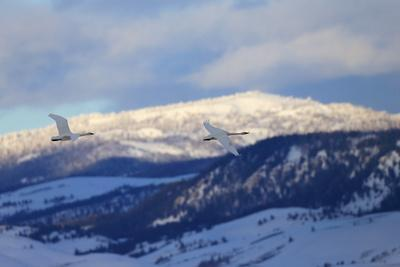 Two Trumpeter Swans, Cygnus Buccinator, Fly Above the Snow in Grand Teton National Park-Robbie George-Photographic Print
