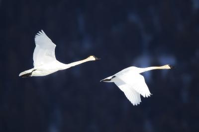 Two Trumpeter Swans, Cygnus Buccinator, in Flight-Robbie George-Photographic Print
