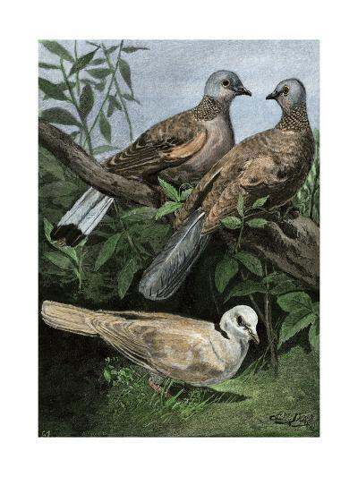 Two Turtle-Doves and a Ring-Necked Dove (Below)--Giclee Print