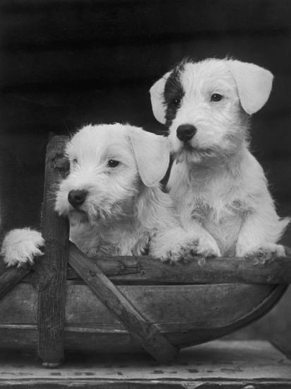 Two Unnamed Sealyhams Sitting in a Trug-Thomas Fall-Photographic Print