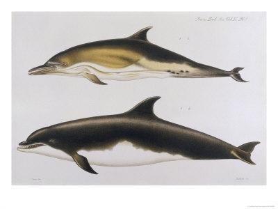 Two Varieties of Dolphin: Delphinus Delphis (Top) Delphinus Tursio-J. Smit-Giclee Print
