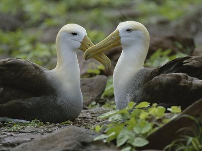 Two Waved Albatrosses Sit Facing One Another-Michael Melford-Photographic Print
