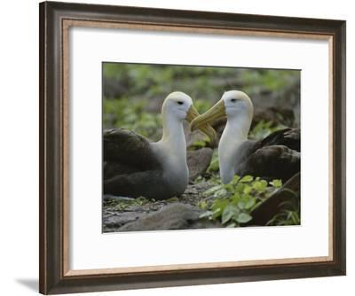 Two Waved Albatrosses Sit Facing One Another-Michael Melford-Framed Photographic Print