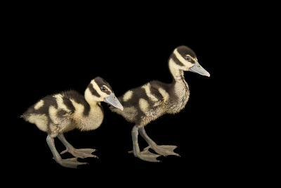 Two Week Old Black Bellied Whistling Ducklings at the Dallas World Aquarium-Joel Sartore-Photographic Print