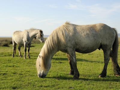 https://imgc.artprintimages.com/img/print/two-welsh-mountain-ponies-equus-caballus-llanrhidian-salt-marshes-gower-peninsula-wales_u-l-phda0w0.jpg?p=0