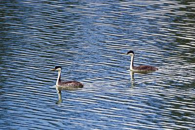 Two Western Grebes, Aechmophorus Occidentalis, Swimming-Robbie George-Photographic Print
