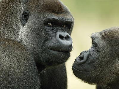 Two Western Lowland Gorillas Face to Face, UK-T^j^ Rich-Photographic Print