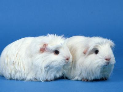 Two White Coronet Guinea Pigs-Petra Wegner-Photographic Print