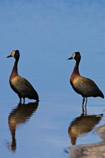 Two White-Faced Whistling Duck, Dendrocygna Viduata, at the Water's Edge-Beverly Joubert-Photographic Print