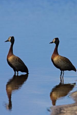 https://imgc.artprintimages.com/img/print/two-white-faced-whistling-duck-dendrocygna-viduata-at-the-water-s-edge_u-l-q12x5uw0.jpg?p=0